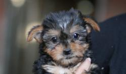 Venda de Yorkshire terrier